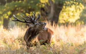_red deer stag in Richmond Park