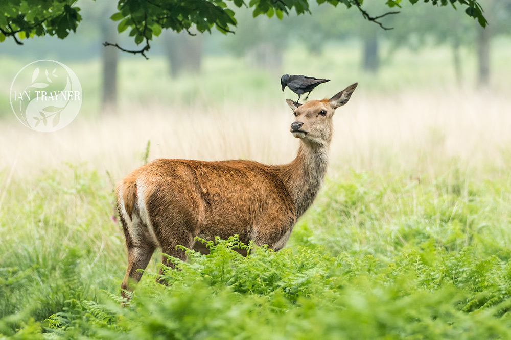 Jackdaws and Red Deer in Richmond Park