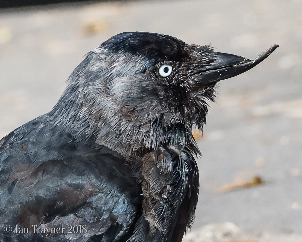 Jackdaw with a deformed beak in Richmond Park