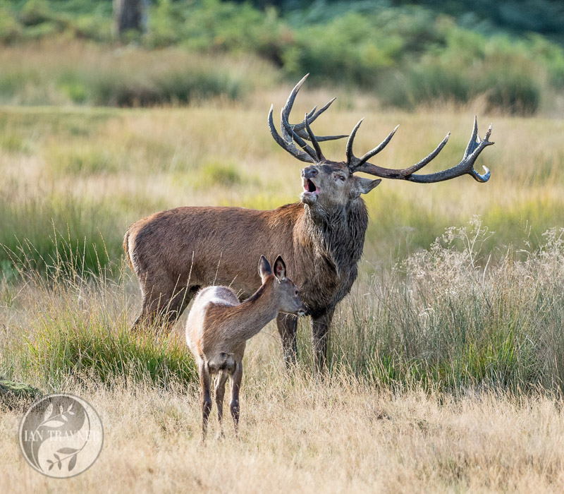 Rutting season for red deer in Richmond Park