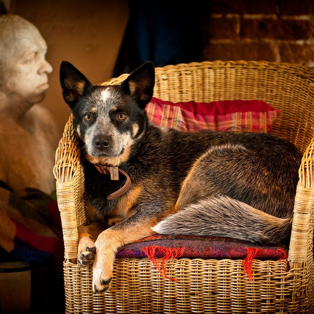 dog photographer Australian cattle dog