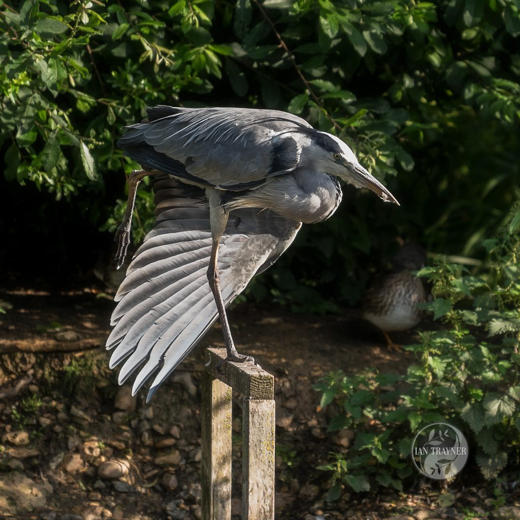 Grey heron (Ardea cinerea) stretches a wing while standing on one leg