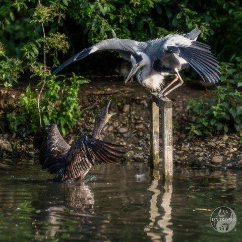 Photo of cormorant (Phalacrocorax carbo) having an argument with a grey heron (Ardea cinerea}