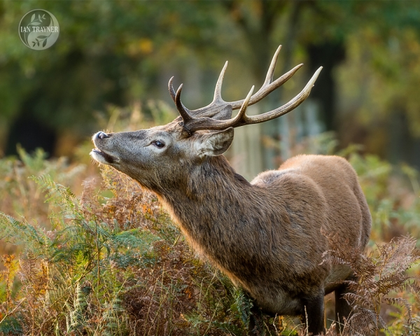 Handsome male red deer stag, Cervus elaphus, smelling female scent, in Richmond Park. Photo by Ian Trayner, photographer in Kingston, Surrey